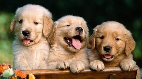 如何判断拉布拉多犬的品质-狗狗品种
